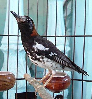 Burung Anis Kembang (Pungor Kembang)