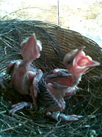 Master Suara Burung Kacer - Ajilbab.Com Portal
