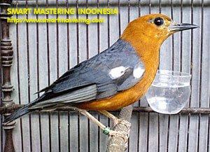 Smart Mastering | Tips Perawatan Burung Anis Merah (Pun