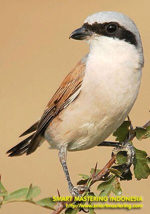 Burung Cendet (Pentet)