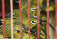Burung Kacamata atau Burung Pleci