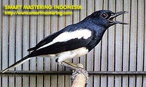 Burung kacer (Magpie Robin)