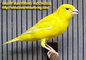 Smart Mastering | Tips Perawatan Burung Kenari