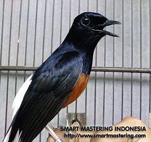 Burung Murai Batu (White-Rumpeed Shama)
