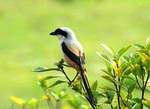 Pentet - burung pentet