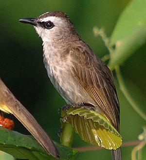 BURUNG TRUCUKAN Gambar Aneka Burung Trucukan dan Cara Merawat