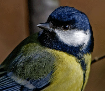 Burung Gelatik Wingko