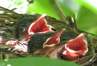 Anak Burung Cucak Rawa