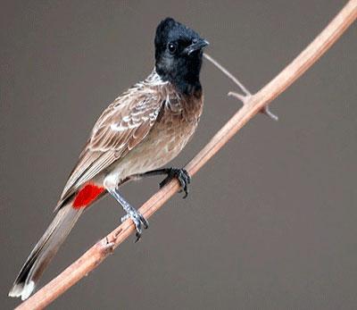 Burung Kutilang Raja