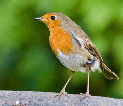 Burung Anis Raja