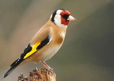 Burung Goldfinch
