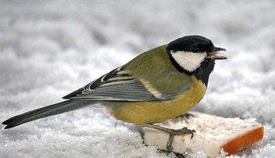 Burung Gelatik Wingko atau Gelatik Batu