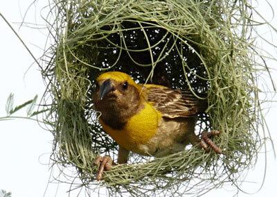 Burung Manyar Padi