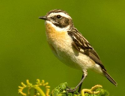 Burung Morning Bird