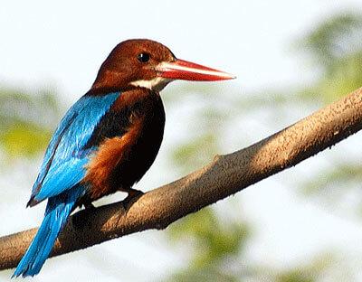 Burung Tengkek Sungai