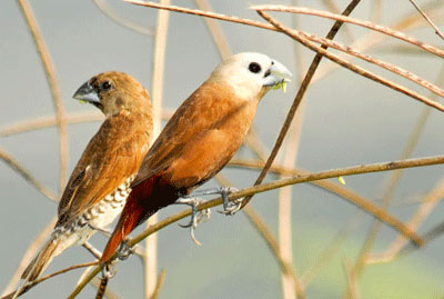 Burung Pipit Sawah