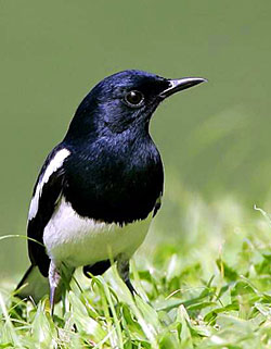 Smart Mastering | Tips Perawatan Burung Kacer (Magpie R