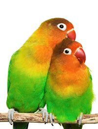 Smart Mastering | Tips Perawatan Burung Love Bird (Love