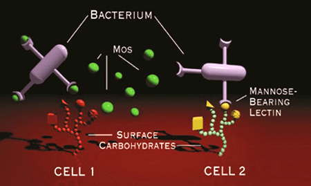 Beta MOS work on the immune system