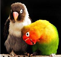 Pasangan Lovebird