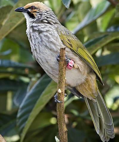 Perawatan Burung Cucak Rowo Smart Mastering
